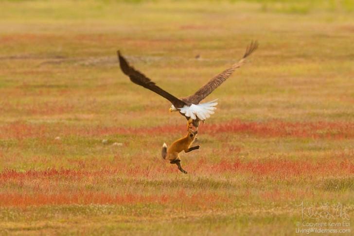 Batalla entre zorro rojo y aguila calva por un conejo (10)