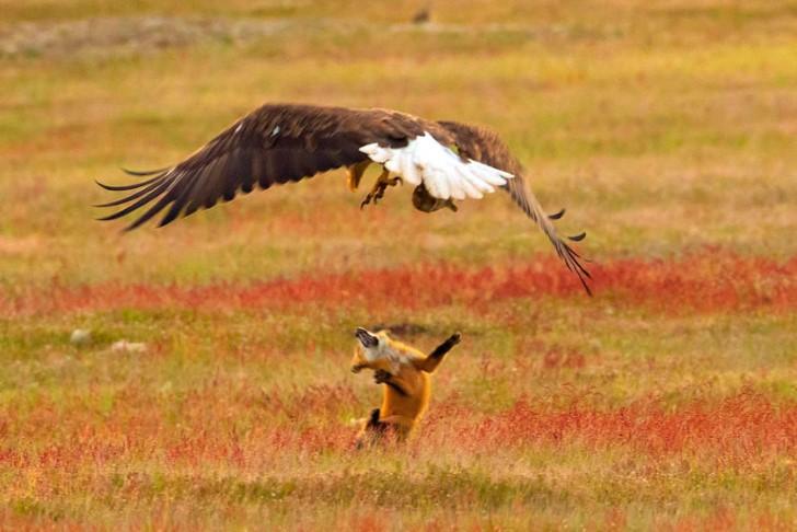Batalla entre zorro rojo y aguila calva por un conejo (11)