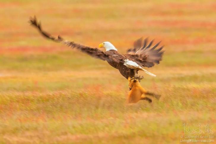 Batalla entre zorro rojo y aguila calva por un conejo (2)