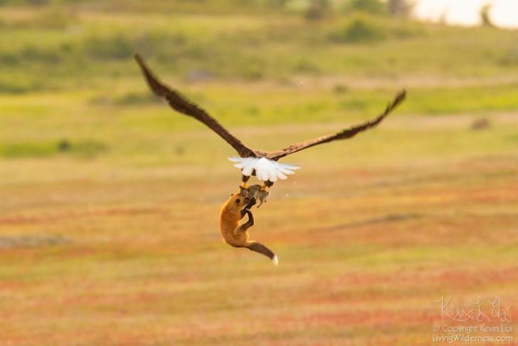 Batalla entre zorro rojo y aguila calva por un conejo (4)