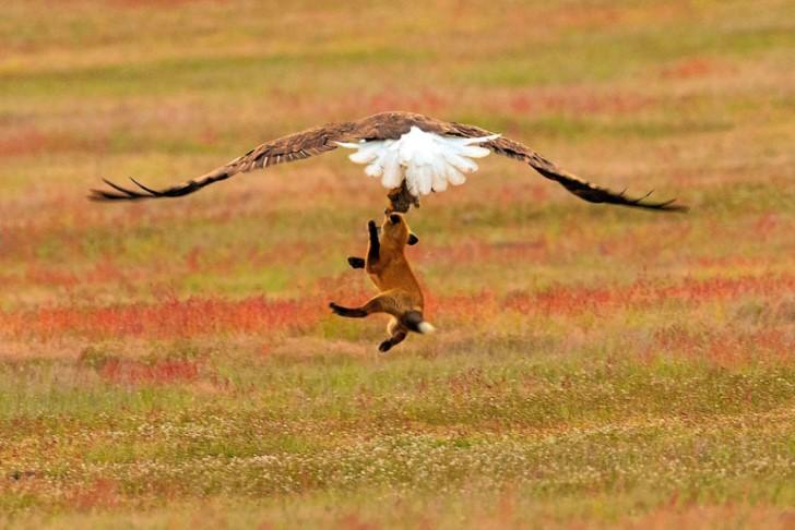 Batalla entre zorro rojo y aguila calva por un conejo (6)