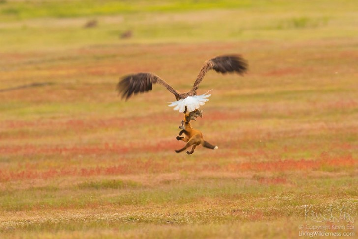 Batalla entre zorro rojo y aguila calva por un conejo (7)