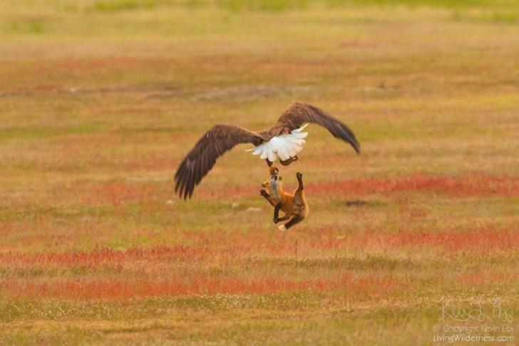 Batalla entre zorro rojo y aguila calva por un conejo (8)
