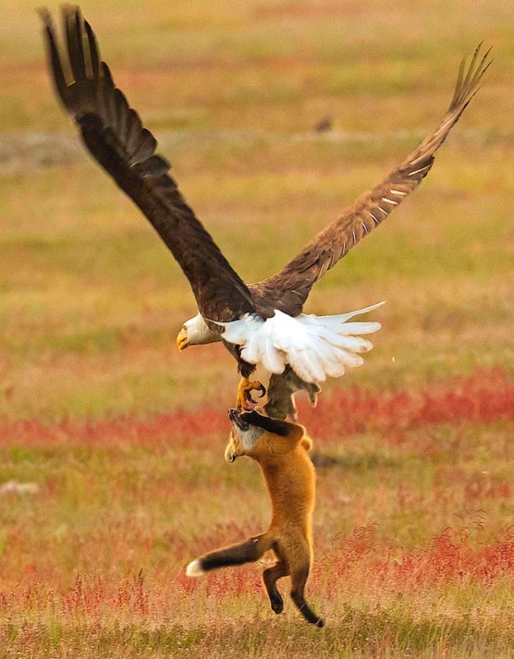 Batalla entre zorro rojo y aguila calva por un conejo (9)