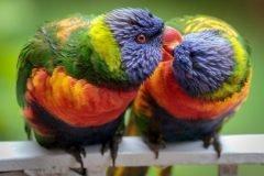 Loros besandose