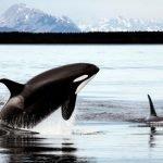 Ley de la Lengua, el increíble pacto entre orcas y pescadores