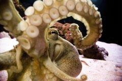 Pulpo tentaculos y ventosas