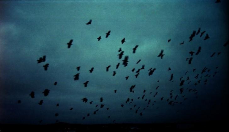 Bandada de cuervos