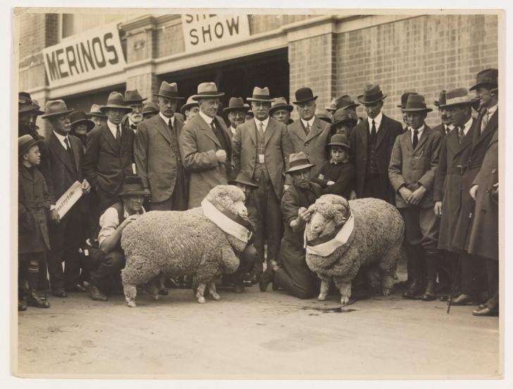 Concurso lana de ovejas