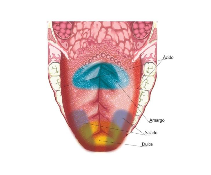 Mapa sabores de la lengua
