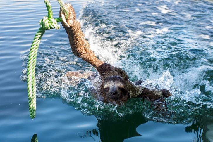 Perezoso nadando