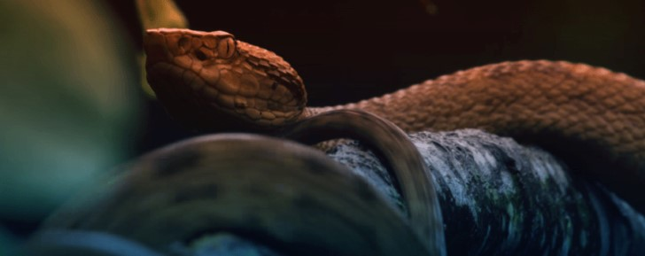Serpiente cabeza de lanza dorada