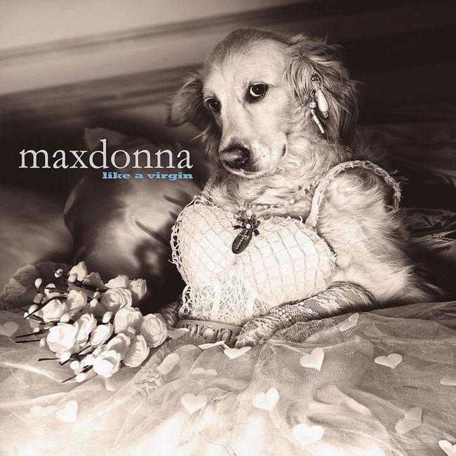 Max el perro imita a madonna (4)