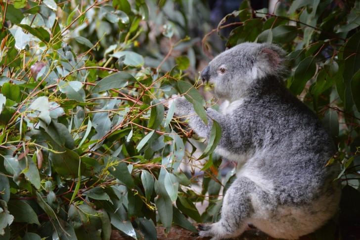 Koala alimentandose de hojas de eucalipto