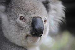 Koala portada