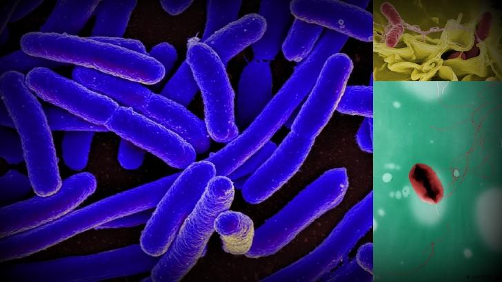 Bacterias transmitidas cucarachas