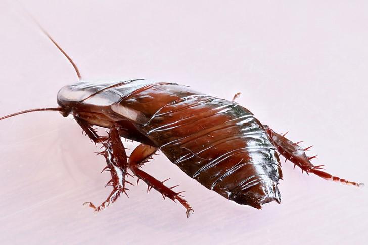 Cucaracha de cuerpo entero