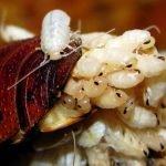 Cucarachas crias