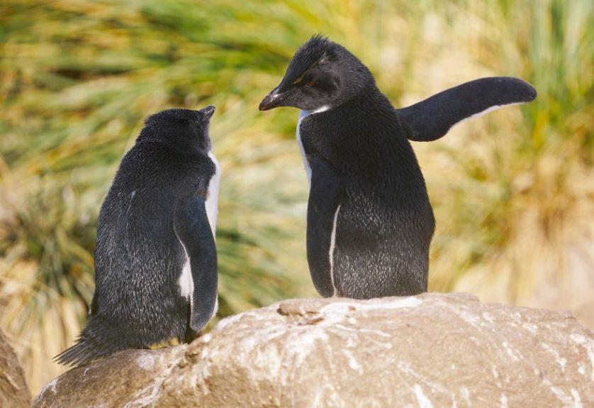 Achim sterna o pinguinos hablando