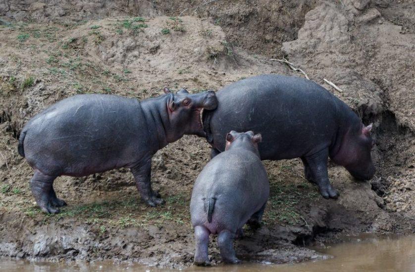 Michael lane hipopotamo cashondo