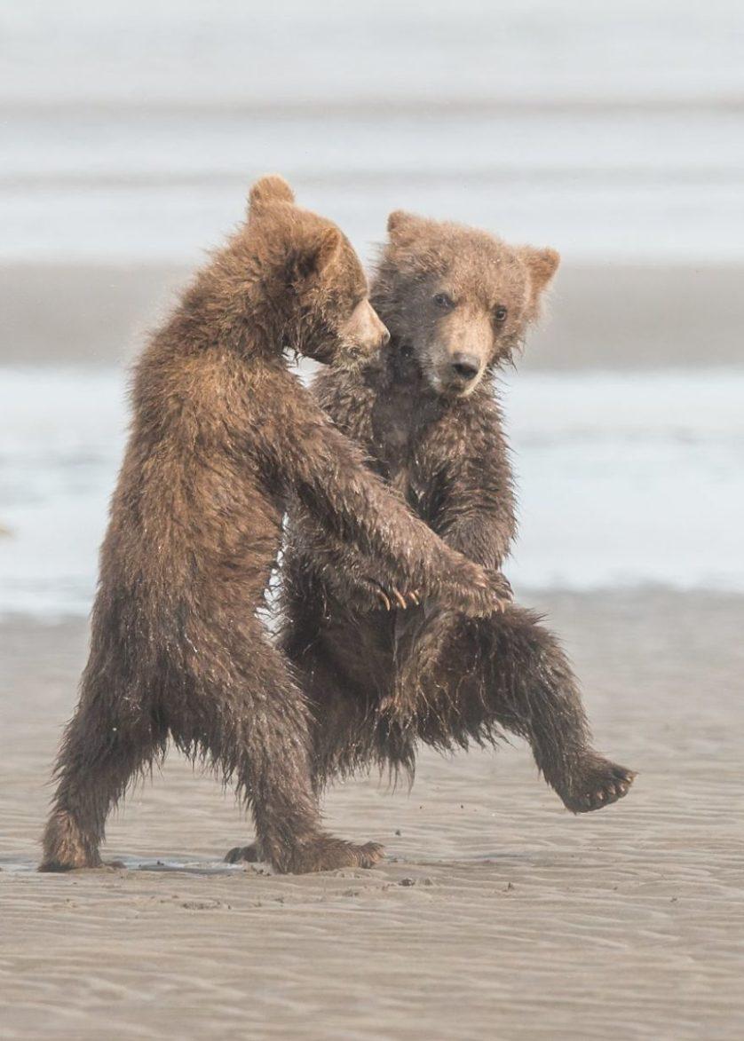 Michael watts osos bailan tango