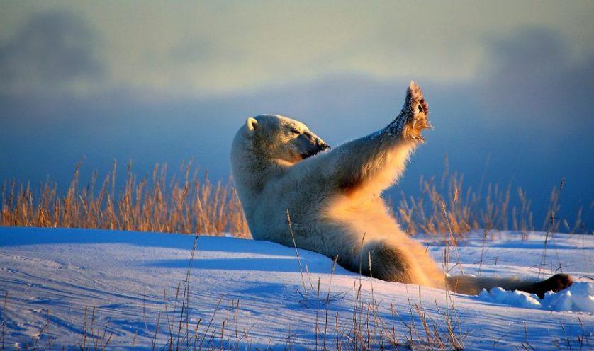 Qiusheng bronceado axilar oso polar