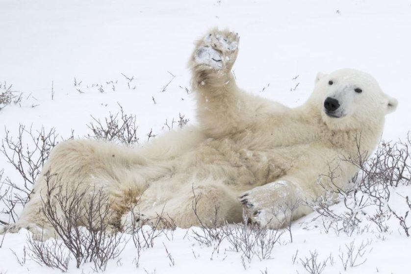 Roie galitz saludo oso