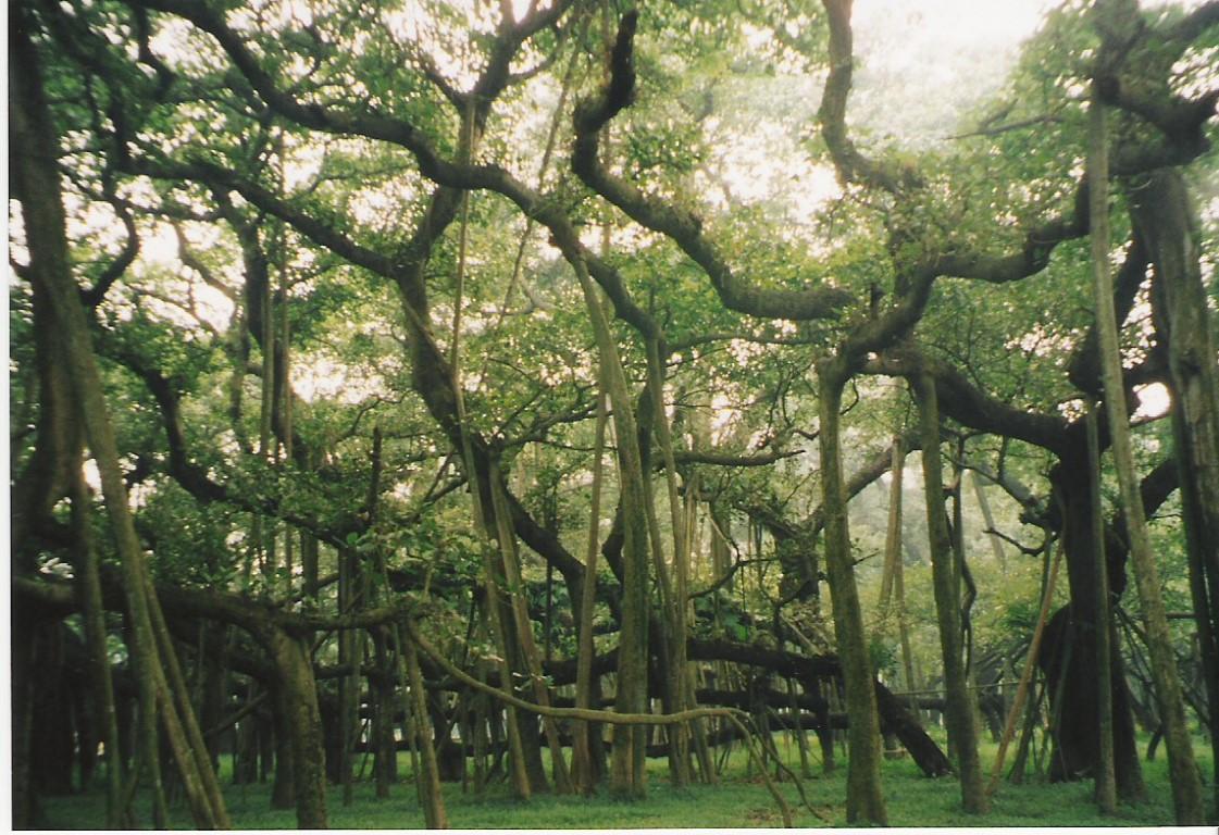 el gran baniano jardín botánico acharya jagadish chandra bose