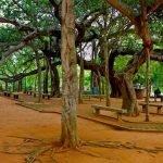 Gran Baniano: el árbol que parece un bosque entero