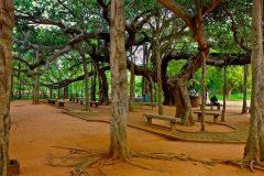 raices del gran baniano en calcuta india