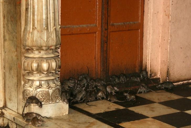 Rattus rattus ratas negras en una puerta