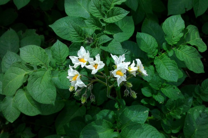 solanum tuberosum flores