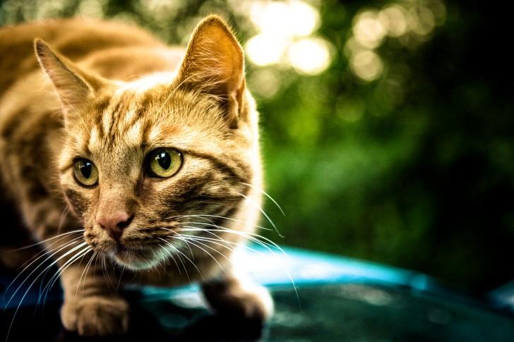 Gato amarillo ojos