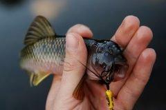 pez capturado con anzuelo