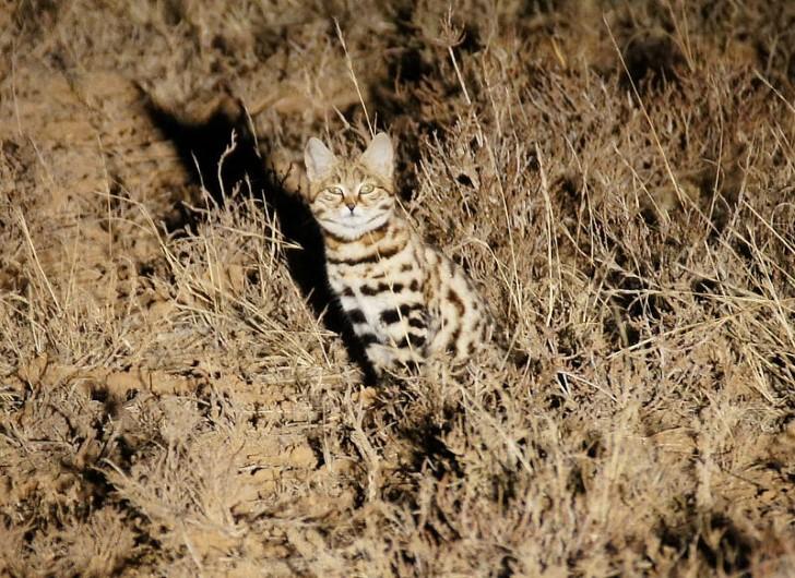 Felis nigripes en su habitat natural