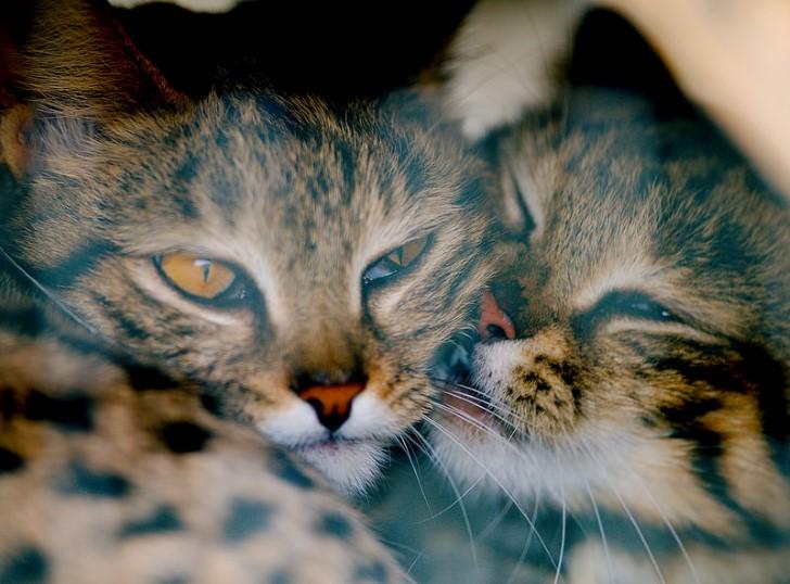 Felis nigripes gato pardinegro pareja