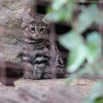 Gato pardinegro