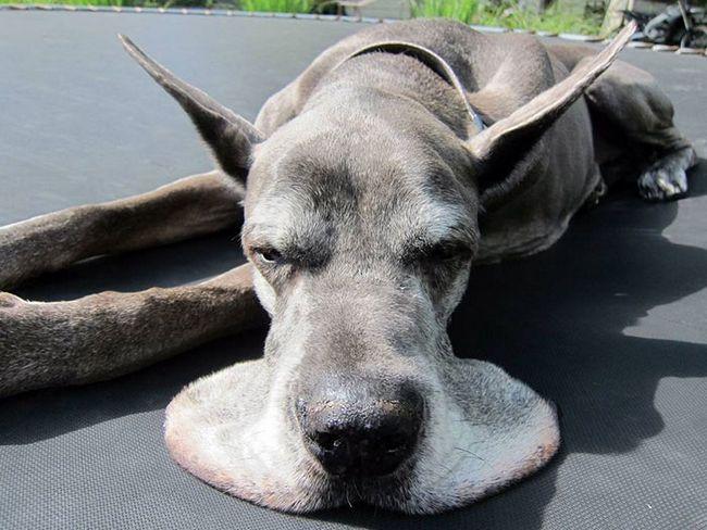 Perros gran danes (11)