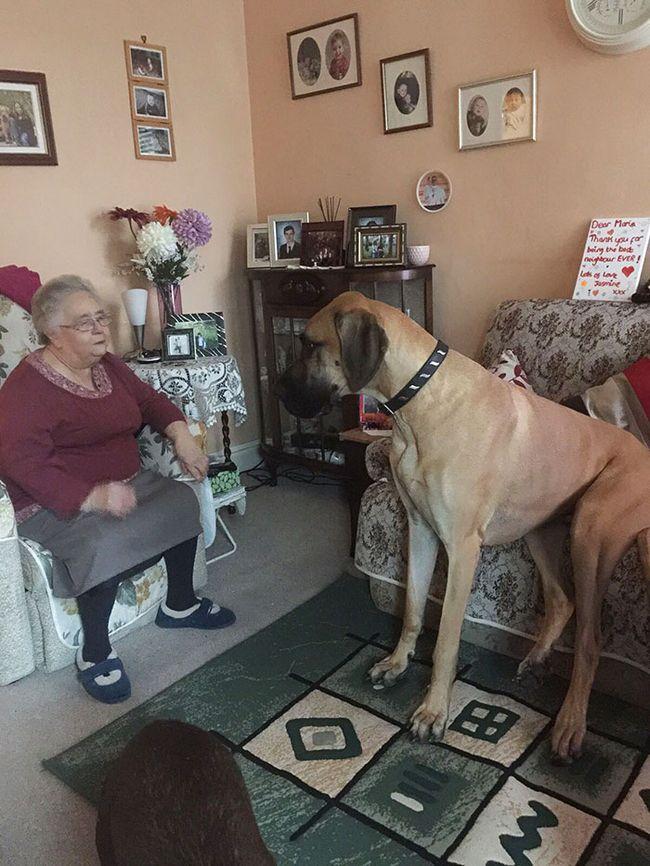 Perros gran danes (18)