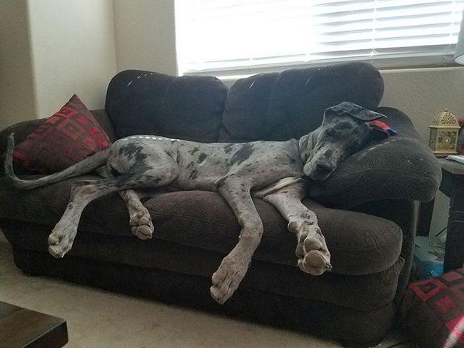 Perros gran danes (19)