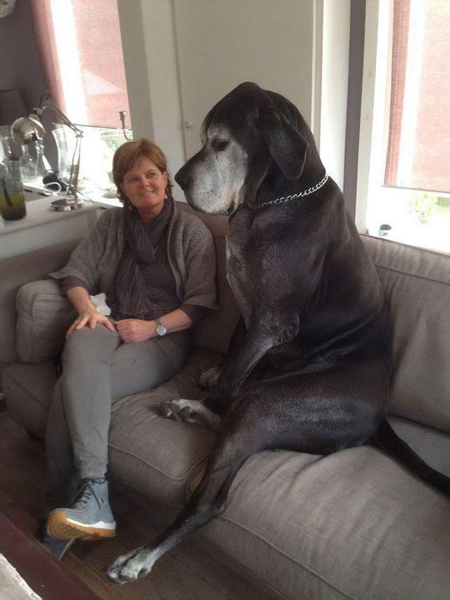 Perros gran danes (4)