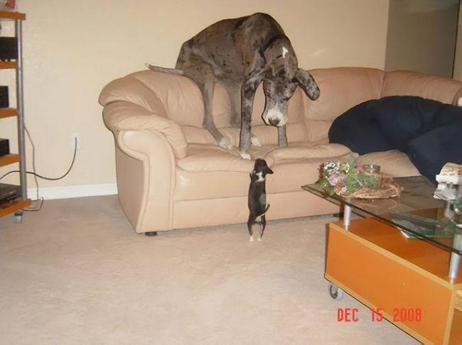 Perros gran danes (6)