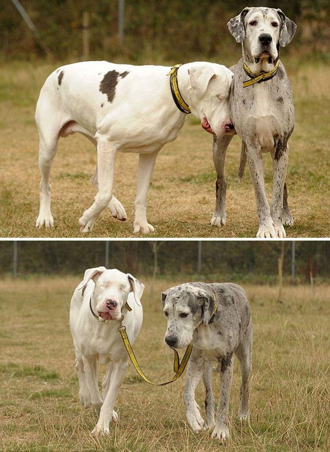 Perros gran danes (7)