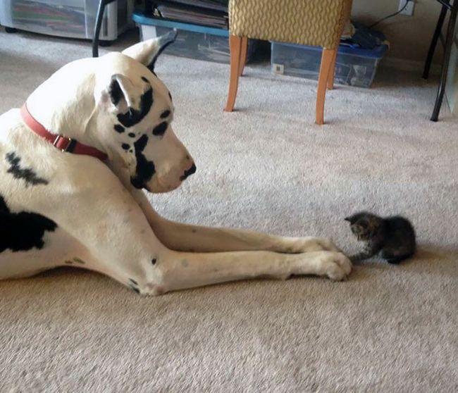 Perros gran danes (8)