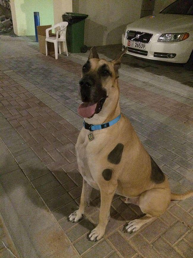 Perros gran danes (9)