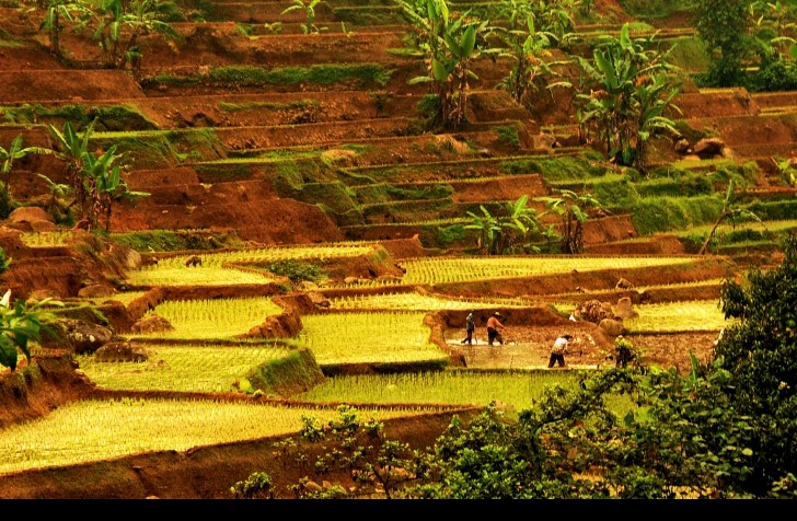 Campos de arroz en indonesia