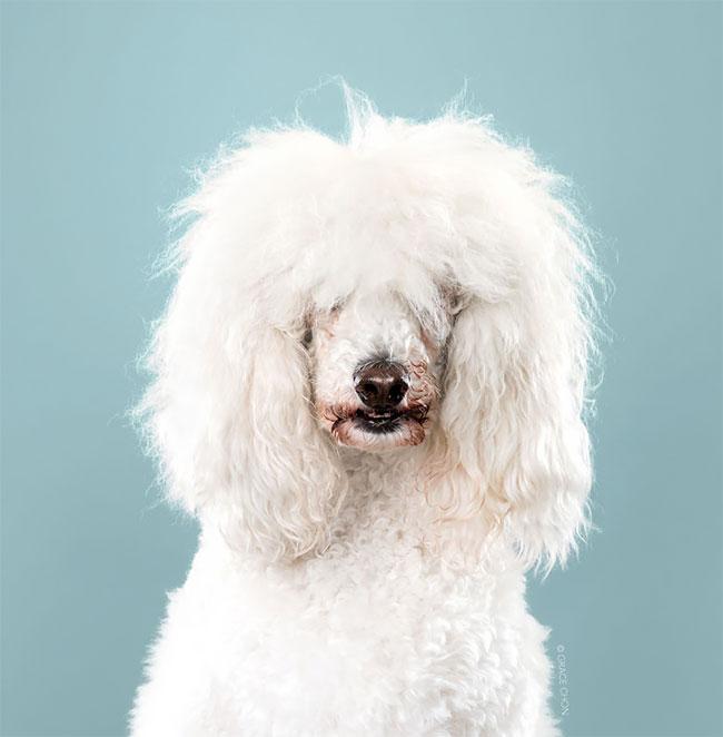 Perros corte pelo antes despues (18)
