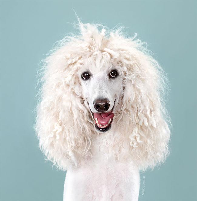 Perros corte pelo antes despues (19)
