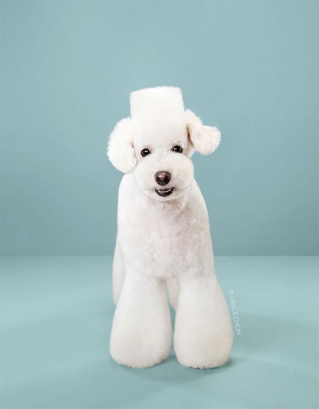 Perros corte pelo antes despues (3)