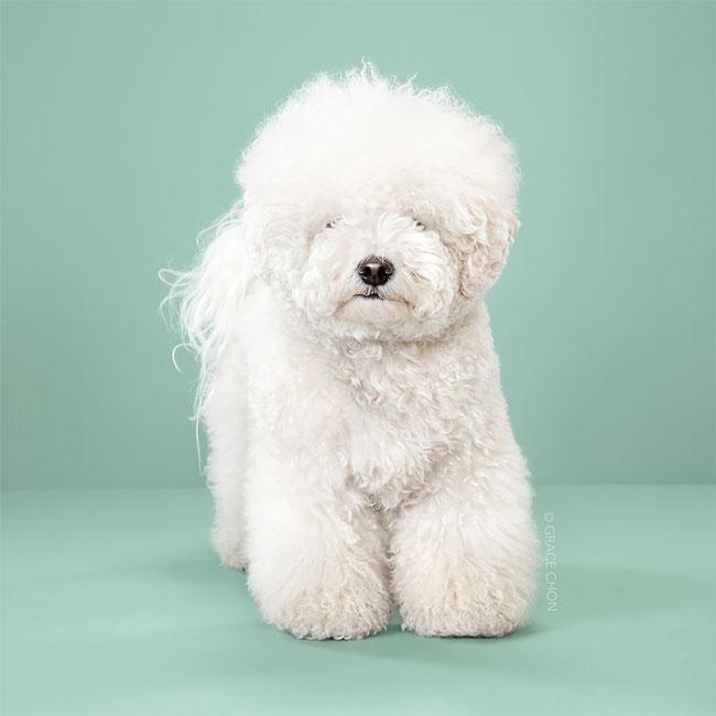Perros corte pelo antes despues (4)